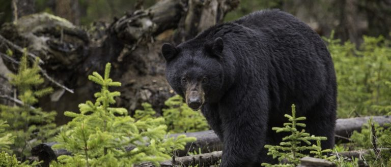 A black bear walking through the forest.