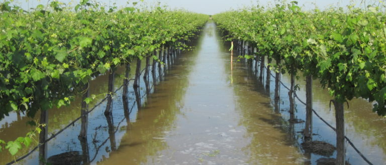 A vineyard after heavy rains.