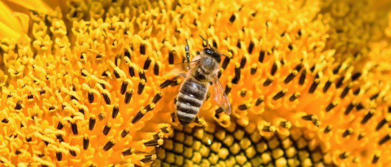 A honey bee in a bright yellow sunflower.