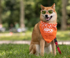 A dog wearing an orange ASPCA hankerchief and sunglasses.
